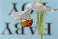 Reflections with Text on Ladybugs  fotonummer 256